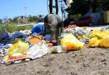 Porco fuçando o lixo em São Gonçalo