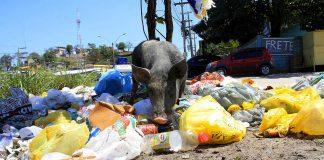 Porco em meio ao lixo em São Gonçalo